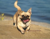 Pug dog puppy photograph, card, Happy Pug, blank inside, write your own message, pet, tan, sand, blue, water, beach, happiness is