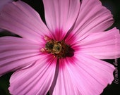 Bee on Cosmos, blank card 5 x 7, write your own msg, pink flower, majenta, fuchia, yellow, honey, bumble bee