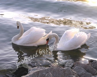Evening Swans, Wedding Anniversary Valentines Gift of fine art, wall art, home decor, swans, bird lovers, romance, love, bridal, friendship