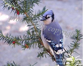 Blue Jay Morning Visitor Bird Photograph Wall Art Home Decor Gift 20 Fine Art Photo Wildlife Nature Photo Bluejay Blue Cobalt Lapis