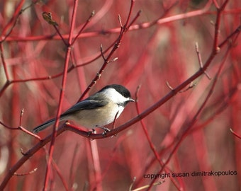 Chickadee on Dogwood Bird Photograph Bird Lovers Print fine art photograph Nature photo Wildlife Wall art home decor gift 20 cranberry beige