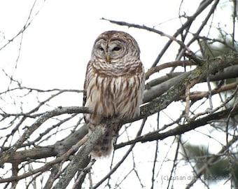 Barred Owl - fine art photograph, nature print, wall art, home office cottage decor, birds of prey, rustic, gift 20,  bird lovers