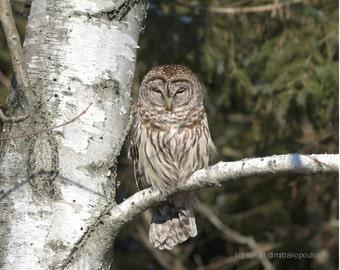 Sleepy Barred Owl, bird greeting card, blank write your own msg., bird lovers, owl lovers, nature photograph