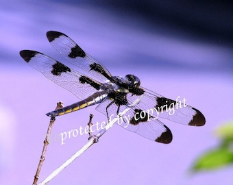 Dragonfly, greeting card, blank inside to write your own message, 5 x 7