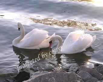 Evening Swans - 5 x 7 blank art greeting card, Valentine's Day, romance, love, birds, feathers, wedding, bridal, friendship