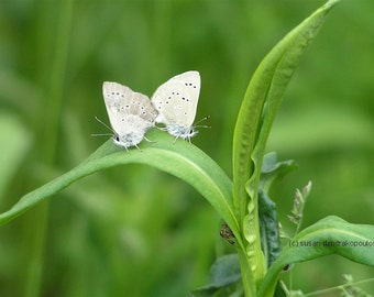 Love In Bloom, fine art photograph, silvery blue butterflies, gift 20, wall art, nature photo