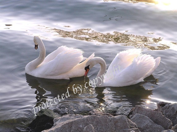 Evening Swans, Wedding Anniversary Valentines Gift of fine art, wall art, home decor, swans, bird lovers, romance, love, bridal, friendship