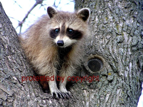 Raccoon card, Raccoon Lookout, write your own msg, blank card 5 x 7, nature lovers, nature photography,