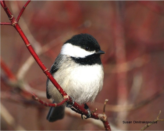 Bird photograph, Chickadee - Black Capped - wall art, nursery, home decor, bird lovers, fine art print, feathers, red dogwood, gift  20