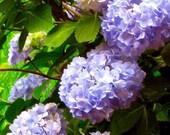 Hydrangeas- Photo Card