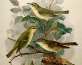 1880 Antique bird Lithograph,  green birds on a tree, german print, Largue size print