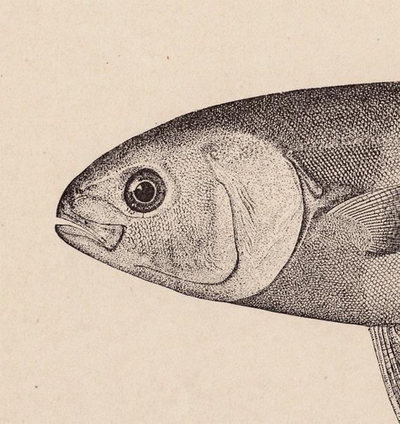 1884 Antique FISH print, The Pilot fish Large Plate.