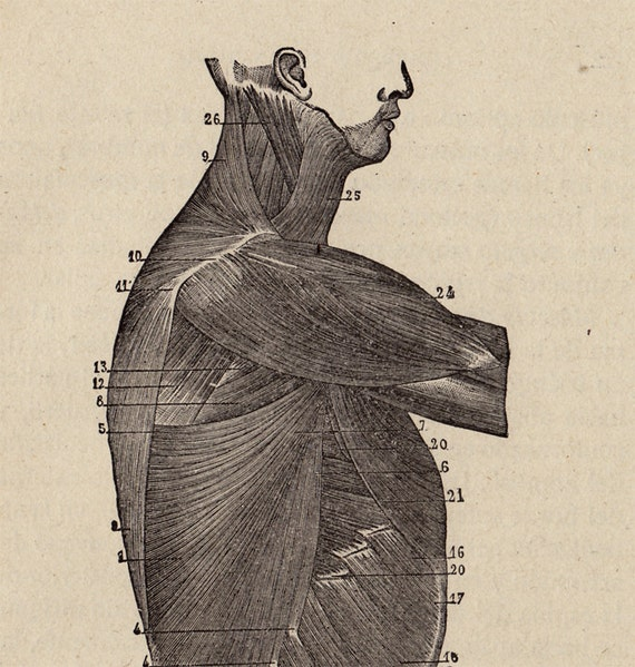 1881 antique artist ANATOMY  print, muscle anatomy,  torso from side,