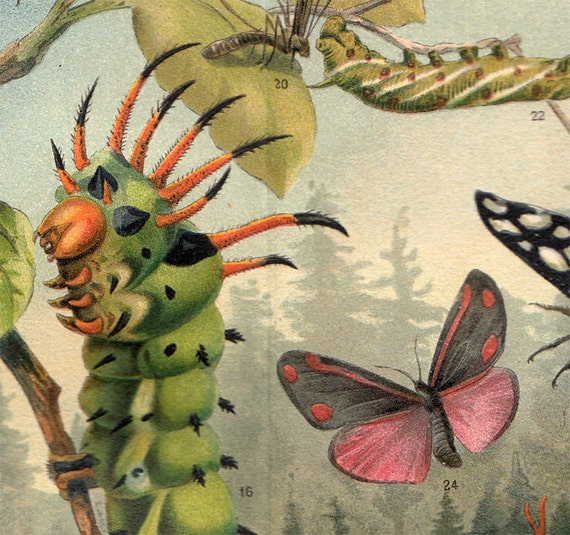 1900s Antique BEAUTIFUL INSECTS lithograph, a cute gigant catterpillar, butterflies,  and other bugs in the country