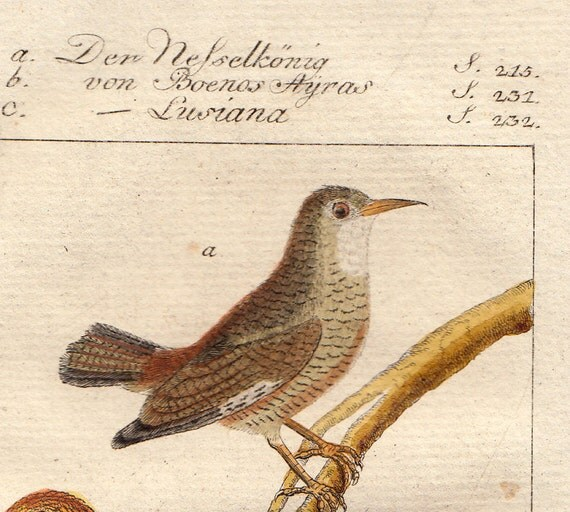 beautiful 1779 very ancient BIRD engraving by BUFFON, hand-colored and hand-made paper, three nice birds on a branch