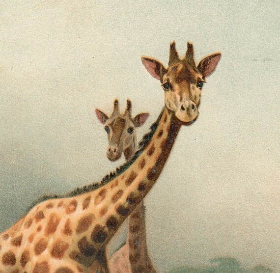 1894 fine Antique GIRAFFE print, bright colors, zoology art lithograph
