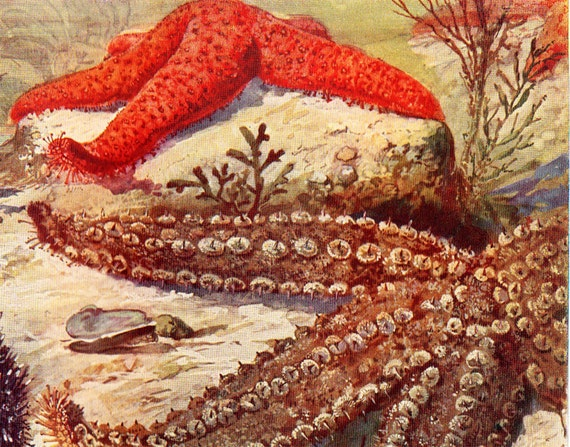 1915 Antique SEA LIFE  print, sea star, a red starfish and a sea urchin in a ocean depths,  sea life art lithograph