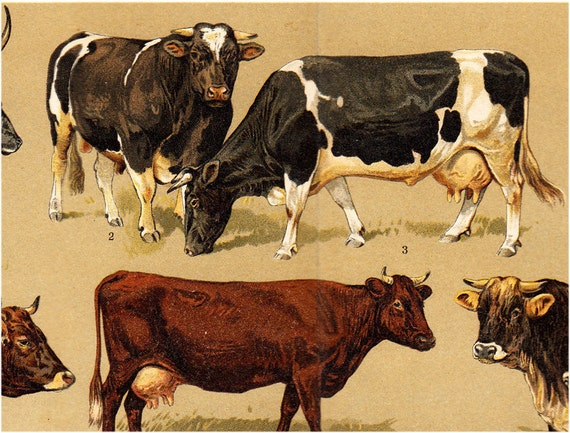 1908 edwardian COW lithograph of cows and bulls of different breeds in brown tones. Antique fine lithograph