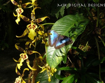 Blue Morpho Butterfly behind an Orchid Photograph 4x6 inch Print
