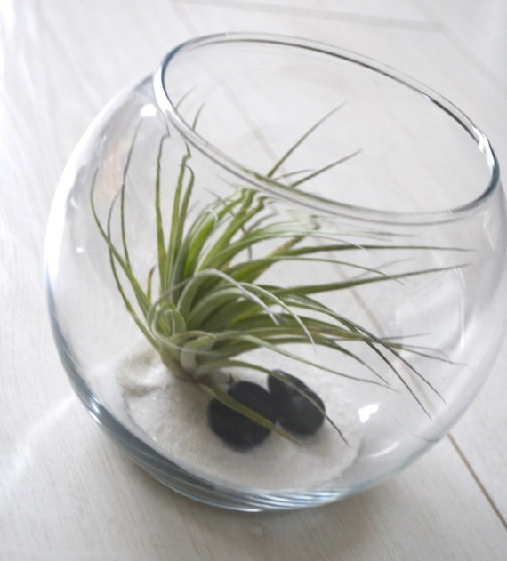 Small fish bowl terrarium air plant with adornments for Fish bowl plants
