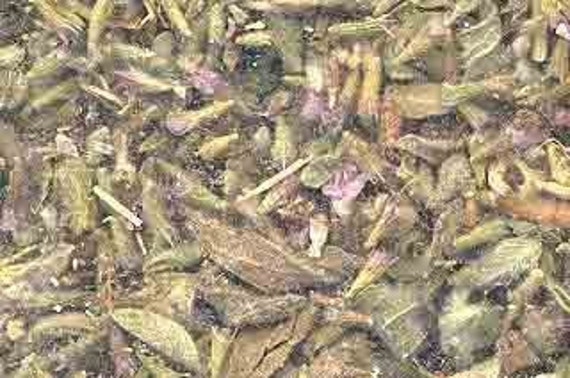 Pennyroyal Herb Wicca Pagan Spirituality Religion Ceremonies Hoodoo Metaphysical MaidenMotherCrone