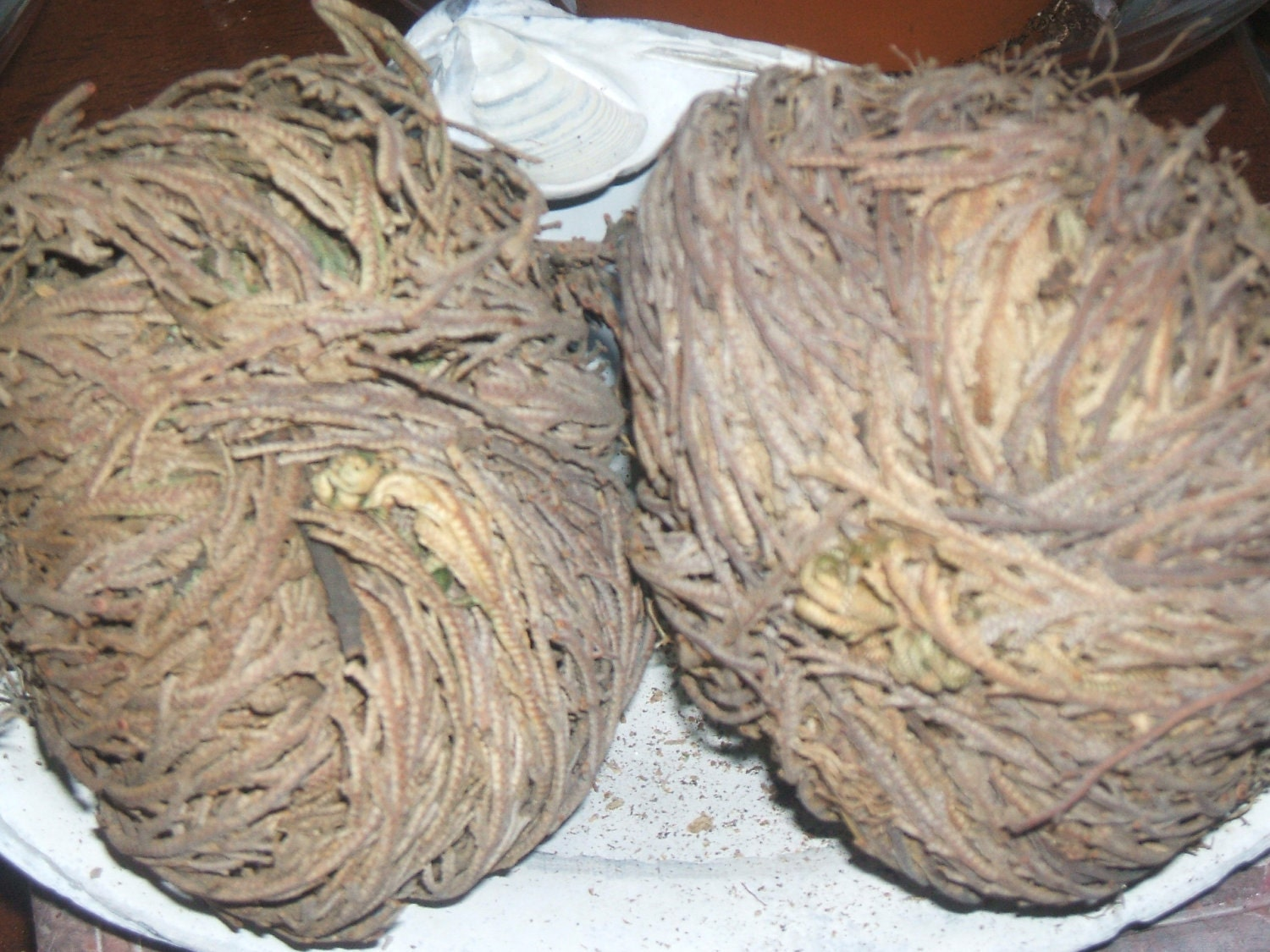 rose of jericho protection purification cleansing blessing. Black Bedroom Furniture Sets. Home Design Ideas