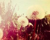 Magic Dandelions - Fine Art Photography