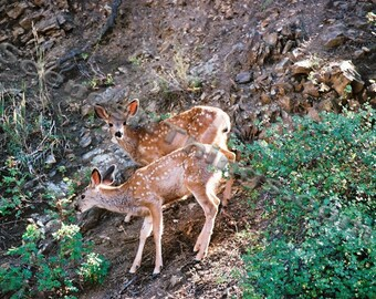 Twin Deer Fawns, Color Photo