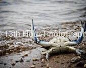 Angry Crab - 12x18 Fine Art Print Baltimore