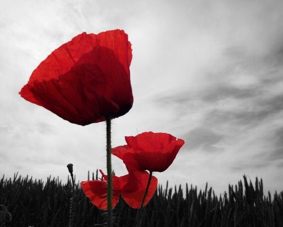 Poppy Photography Red Grey Remembrance 10x8 Print Flowers Poppies...
