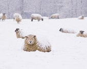 Snow Sheep - Fine Art Photography Print