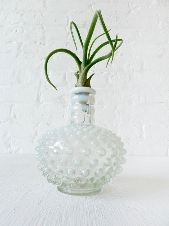 SALE- Air Plant in Antique Fenton French Milky White Hobnail Bubble Vase