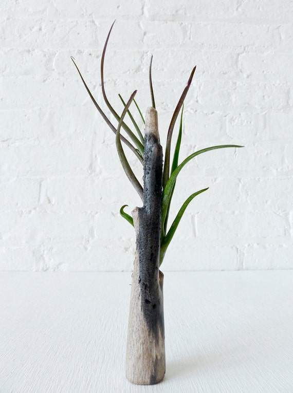 10% SALE - Air Plant Perched on Petrified Wood Branch