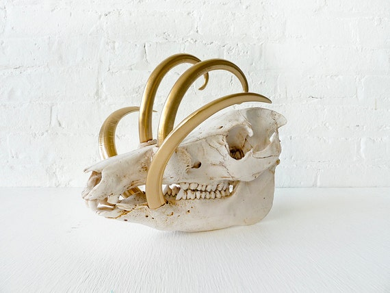 Reserved - Wild Boar Skull w/ 24k Gold Tusks