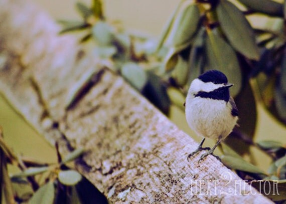 Black-Capped Chickadee 5x7 Inch Photographic Print