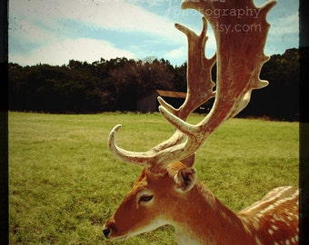 Woodland Photography - Antlers -  Fine Art Photograph - deer meadow field woods green blue