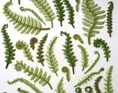 Edible Sugar Ferns & Fiddle Heads 30 assorted -as seen in The Bride's Guide, Martha Stewart Weddings