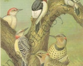 Vintage 1934 Red-Bellied and Red-Headed Woodpeckers and the Yellow-Shafted Flicker