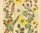 Antique 1882 Chromolithography Plate Featuring Springtime Butterlies, Caterpillars and Wildfowers - Rare