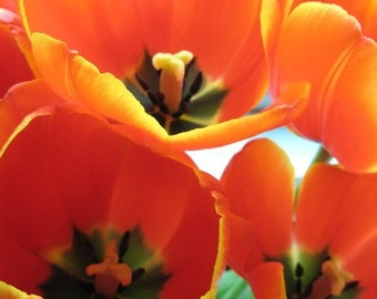 Red Orange Tulips Passionate Dazzling print
