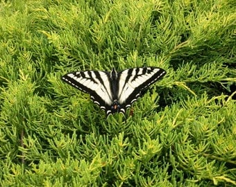 Poetry in Motion Black and Yellow Butterfly in the Cedar Shrub Surreal Green Card