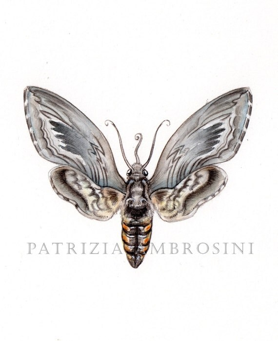 9x7MOTH Watercolour Five spotted hawkmoth  Handpainted .... . NOT A PRINT ..Original Painting