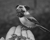 Funny Animal Photography - Half Bird Half Dog Print - Pug Dog - Chickadee - Bird Body - Pug Face - Weird Animal - Black and White