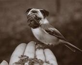 Funny Animal Wall Art - Surreal Art Photo - Chickapug or Pugadee - 4x6 Print - Sepia Photography - Pug Art - Bird Dog - April Fool Portrait