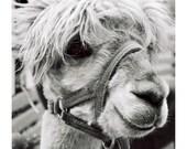 Animal Photograph - Llama Alpaca Print - 8x10 Black and White - Barnyard Fine Art Photograph - Cute Animal