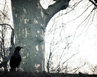 5x7 Print - Raven Ponders