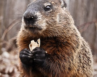 Photo of Marmot Eating a Peanut- Picture of Woodchuck Posing - Groundhog Day - Closeup - Animal Portrait - Wildlife - Montreal Canada Animal