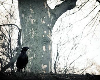 8x10 Print - Raven Ponders