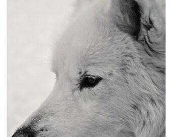 Fine Art Dog Photography - Samoyed Husky Malamute in Winter - Sled Dog Profile - Black and White Animal Photography - Dog Lover Gift