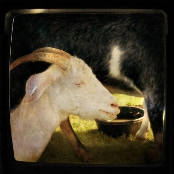 8x8 Print - Meditating Goat